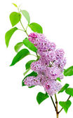 Branch of lilac (Syringa) on a white background — Stock Photo