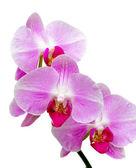 орхидеи цветущие ветки на белом фоне крупным планом — Стоковое фото