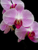 Pink orchid close up — Stock Photo