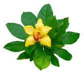 黄白色背景上的兰花和绿色叶子 — 图库照片