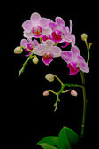 Lindas orquídeas florescendo filial em um fundo preto — Fotografia Stock