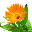 Calendula flower and ladybug on white background — Stock Photo #8567211