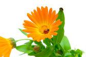 Calendula flower and ladybug on white background — Stock Photo