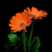 цветущая макро гербера — Стоковое фото