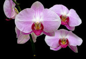 Orchid on black background close up — Stock Photo