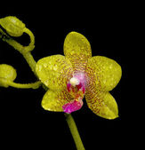 Yellow orchid in drops of water on a black background — Stock Photo