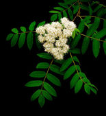 Flowering branch of mountain ash (Sorbus) on a black background — Stock Photo