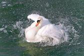 White Swan (Cygnus olor) close-up — Stock Photo