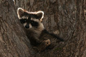 Raccoon In Tree — Stock Photo