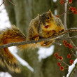 Brown Squirrel In Cherry Tree — Stock Photo #9699543