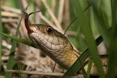 Hadí jazyk — Stock fotografie