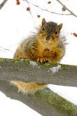Braunes eichhörnchen nach unten vom baum — Stockfoto