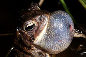 American Toad Chirping — Stock Photo