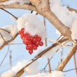 Foto de Stock  : Berries of guelder-rose under snow