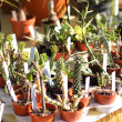 Small pot of cactus plant in the market — Stock Photo