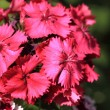 Sweet William — Stockfoto