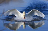 Swan attack — Stock Photo