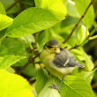 Baby blue tit, chick