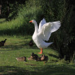 Stock Photo: White geeses and ducks