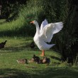 White geeses and ducks — Stock Photo