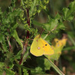 Colias crocea, le soucis - Stock Photo