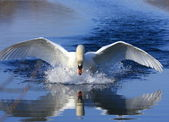 Swan attack — Stock Photo