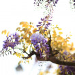 Wisteria flower, purple and blue against days - Stock Photo