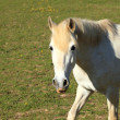 Portrait of a young white horse in a meadow — Stock Photo