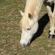 Stock Photo: Portrait of a young white horse in a meadow