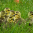 Small Canada geese walking in green grass - Foto Stock