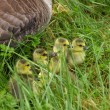 Small Canada geese walking in green grass - Stock fotografie