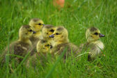 Küçük kanada kazlar yeşil çim yürüyüş — Stok fotoğraf