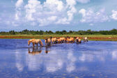 Henson horses in the marshes in bays of somme in france — Stock Photo
