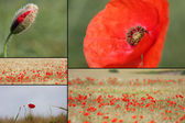 Mixed collage of details of red poppies — Stock Photo