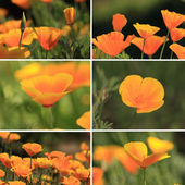 Mixed collage pictures of oranges California poppies — Stock Photo