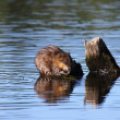 Muskrat eats algae in the middle of the water — Stok fotoğraf