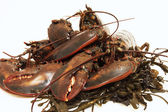 Live lobsters on algae and a white background — Stock Photo