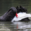 Black swan, anatidae — Stock Photo #9431963