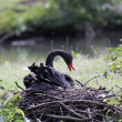 Black swan, anatidae — Stock Photo #9432298