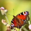 Butterfly inachis, Paon du jour, peacock — Stock Photo #9436667