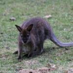 Bennett Wallaby, Kangaroo — Stock Photo #9437748