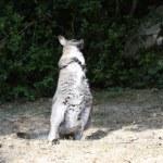 Bennett Wallaby, Kangaroo — Stock Photo #9437876