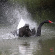 Black swan, anatidae - Stock Photo
