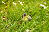 Baby blue tit, chick — Stock Photo