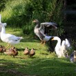 White geeses and ducks — Stock Photo #9443846