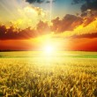 Good red sunset over golden field - Stock Photo