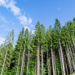 Pine forest under cloudy blue sky in mountain — Stock Photo #10116063