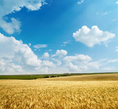 Golden harvest under cloudy sky — Stock Photo