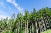 Pine forest under cloudy blue sky in mountain — Stock Photo