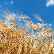 Gold ears of wheat under deep blue sky — Stock Photo